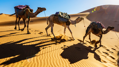 Three Wise Camels